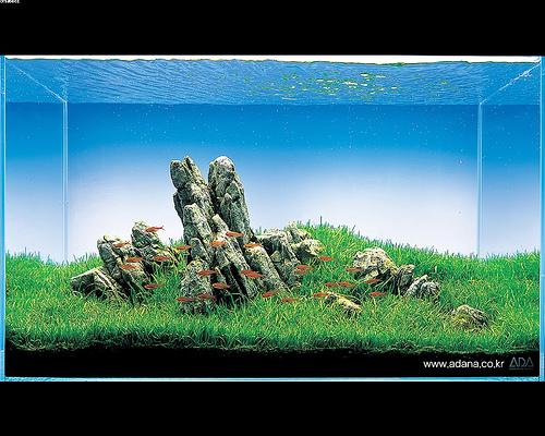 Iwagumi lo zen e l 39 arte dell 39 acquario d 39 acqua dolce con for Pesci per acquario piccolo