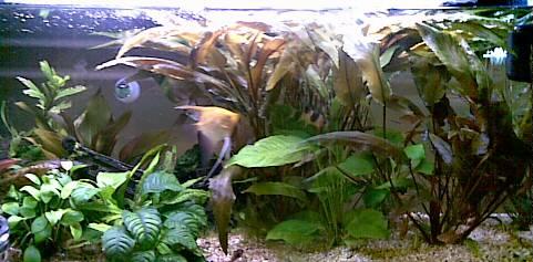 L'acquario di Rita, visto da vicino (Scalari, pesci pulitori ma non ANCISTRUS, pianta facili)