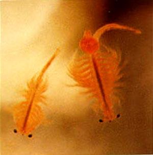 Artemia salina brine shrimp cibo vivo per pesci e for Cibo per pesci tropicali