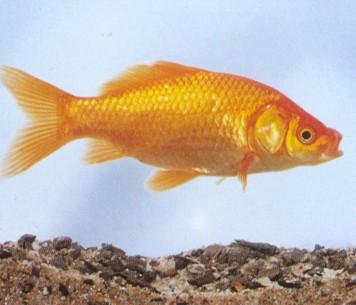 I pesci rossi pro e contro ma mai in boccia for Piscina per pesci rossi
