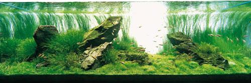 Acquario IWAGUMI dell'ADA, con sfondo costituito da Eleocharis vivipara