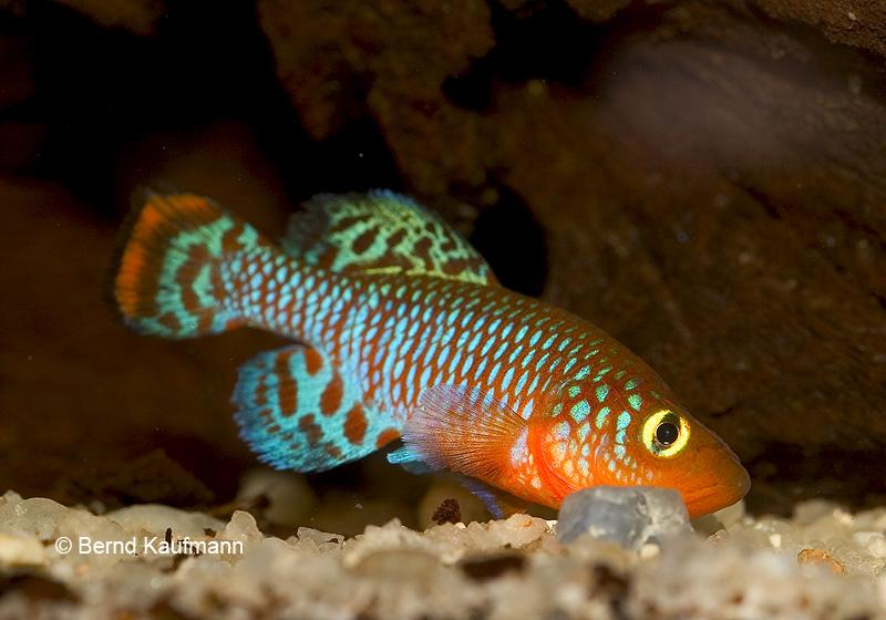 Killifish della famiglia dei Nothobranchius: N. rachovii