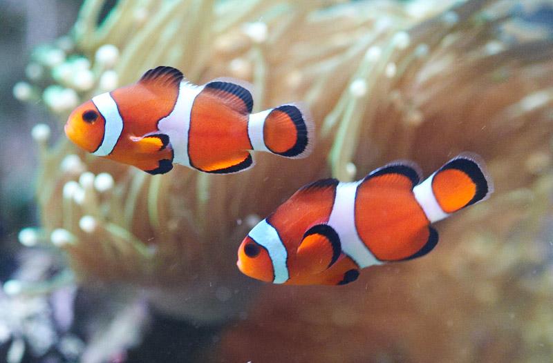 I pesci pagliaccio nemo possono vivere in piccoli acquari for Pesci per acquario piccolo