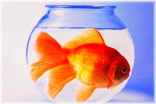 i pesci rossi pro e contro ma mai in boccia