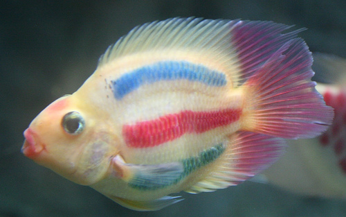 Red Parrto colorati artificialmente, diciamo NO ai pesci TRUCCATI!