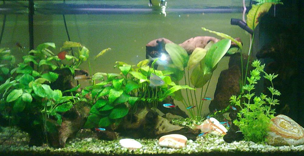 L acquario di ivano con anubias e pesci tropicali tanti nitrati e poca luce - Pesci e acquario a letto ...