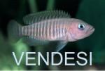 VENDE-VO Neolamprologus multifasciatus a 5€ l'uno