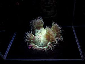 foto non mia di un singolo corallo in un cubo di acqua