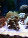 pavona cactus, corallo SPS (settembre 2011)