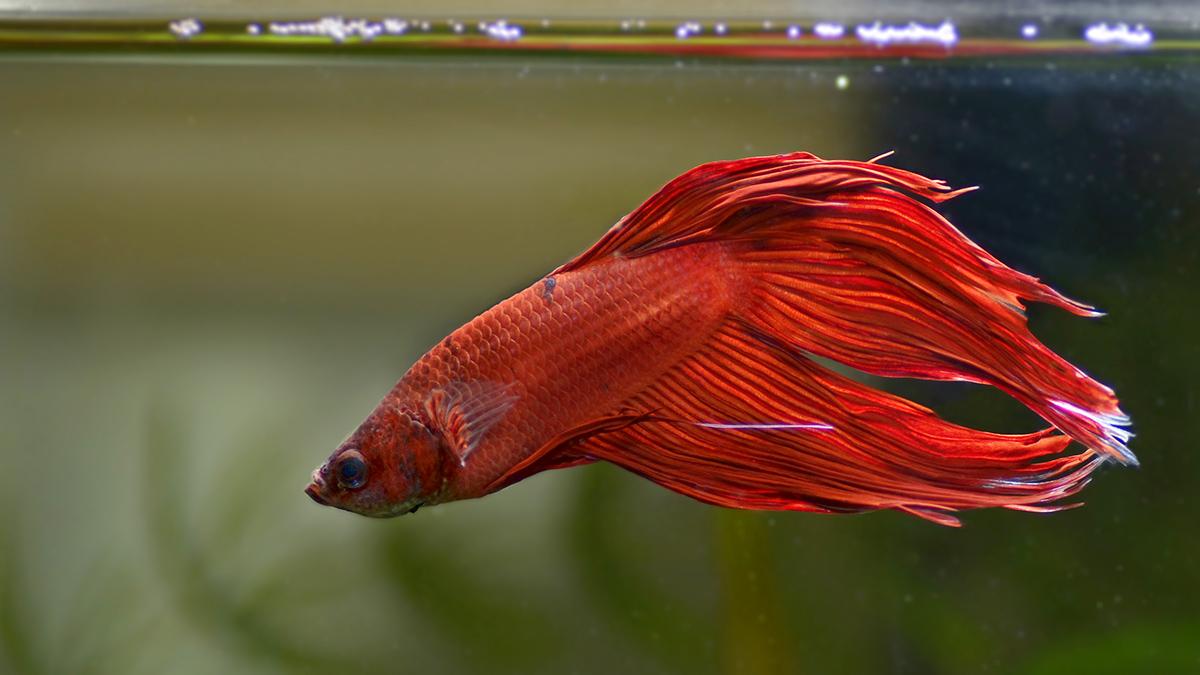 Betta splendens rosso nuove foto dal piccolo acquario dolce for Quanto vive un pesce rosso