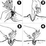 Come piantare le piante in acquario?