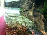 Gamberetti red cherry in un acquario di soli 2 litri